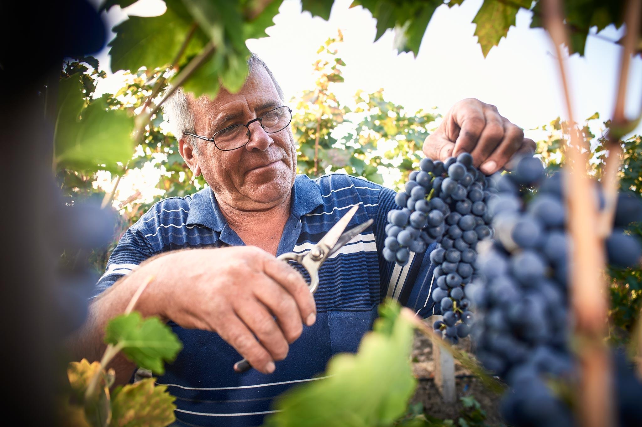 Vinogradnik Vasko Atanasov v vinogradu vranca